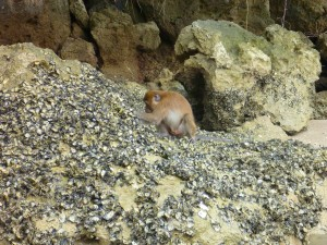 A short-tailed Macaque we saw searching for sea food on the beach from our kayak