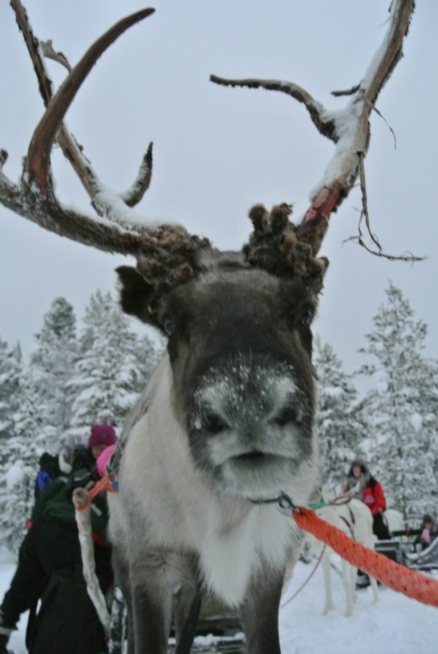 One of the Reindeer.  I love this picture.