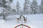 Husky Racing / Dog Sledding in Lapland