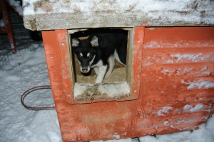 Husky Puppy Kennel