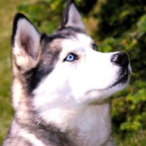 Siberian Husky with Blue Eyes