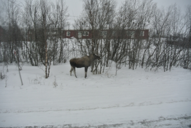 A moose that we saw at the road side in Abisko